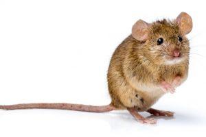 害獣となるネズミ
